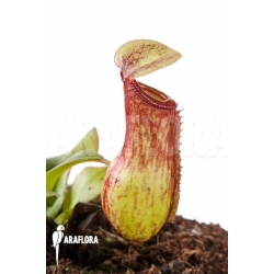 Nepenthes 'Gaya' 'S'