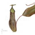 Kannenpflanze 'Nepenthes adnata' 'L'