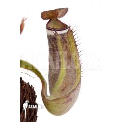 Nepenthes albo-marginata 'Kuching spotted'