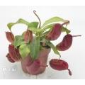 Kannenpflanze 'Nepenthes ampullaria' 'Red' 'L'