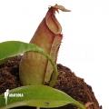 Kannenpflanze 'Nepenthes bicalcarata'