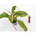 Kannenpflanze 'Nepenthes boschiana x densiflora' 'XL'