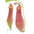 Kannenpflanze 'Nepenthes gracilis'