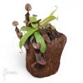 Kannenpflanze 'Nepenthes sanguinea' 'L'
