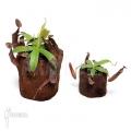 Kannenpflanze 'Nepenthes sanguinea' 'XLlvm'