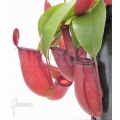 Kannenpflanze 'Nepenthes' x 'Bloody mary' 'XL'