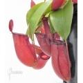 Kannenpflanze 'Nepenthes' x 'Bloody mary' 'XL'