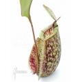 Kannenpflanze 'Nepenthes x hookeriana' 'Dark'