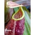 Kannenpflanze 'Nepenthes x suki'