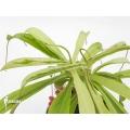 Kannenpflanze 'Nepenthes x ventrata' 'Variagated'