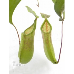 Nepenthes x 'Louise'