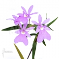 Orchidee 'Oerstedella centradenia'