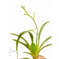Orchidee 'Oncidium croesus'