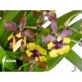 Orchidee 'Oncidium eurycline'