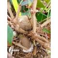 Ameizenpflanze 'Pachycentria constricta'