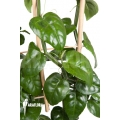 Parthenocissus quadragfolia