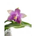 Orchidee 'Phalaenopsis violacea'