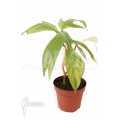 Philodendron 'Florida Ghost' 'M'