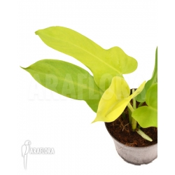 Philodendron Golden violin RT