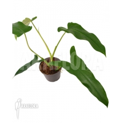 Philodendron atabapoense 'M'