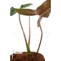 Philodendron atabapoense cutting 'S'
