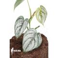 Philodendron brandtianum