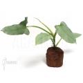 Philodendron hastatum 'Silver sword' 'starter'