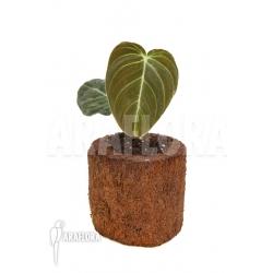 Philodendron melanochrysum Starter