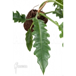 Philodendron species Narrow 'Starter'