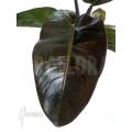 Philodendron x 'Black Cardinal'