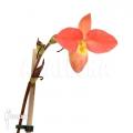 Orchidee 'Phragmipedium x longifolium x besseae'