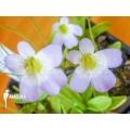 Fett kraut 'Pinguicula crystallina subsp. Hirtiflora'