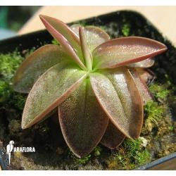 Pinguicula planifolia
