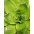 Bromelien 'Pitcairnia tabuliformis'