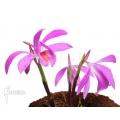 Orchidee 'Pleione bulbocodioides 'pink' (formosana)'