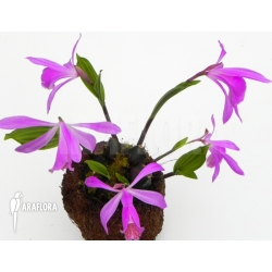 Pleione formosana purple