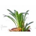 Orchidee 'Pleurothallis costaricensis'