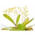 Orchidee 'Pleurothallis grobyi'