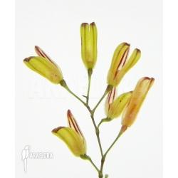 Pleurothallis grobyi 'Surinam'