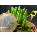 Orchidee 'Pleurothallis leptotifolia'
