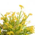 Orchidee 'Pleurothallis sonderiana'