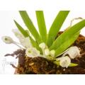 Orchidee 'Podangis dactyloceras'
