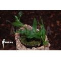 Polypodium species bali