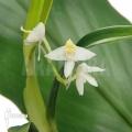 Orchidee 'Polystachya fallax'