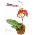 Orchidee 'Psychopsis papilio'