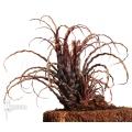 Bromelien 'Racinaea crispa' starter