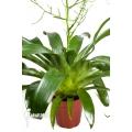 Bromelien 'Racinaea tenuispica'