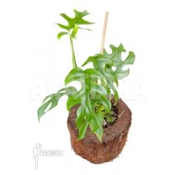 Rhapidophora tetrasperma 'M'