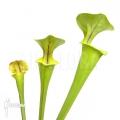 Schlauchpflanzen ´Sarracenia flava (M)'
