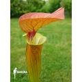 Schlauchpflanzen ´Sarracenia flava var. Cuprea'